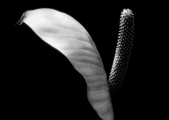 Greeting Card featuring the photograph Peace Lilly by Marilyn Hunt