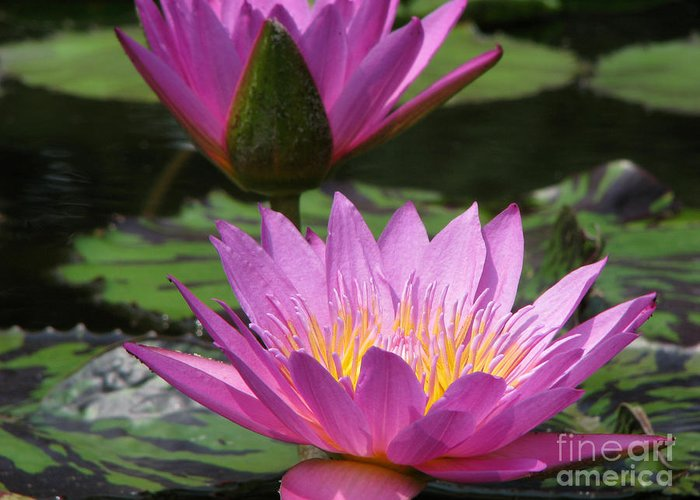 Lillypad Greeting Card featuring the photograph Peaceful by Amanda Barcon