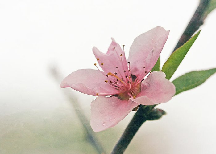 Cindi Ressler Greeting Card featuring the photograph Peach Blossom by Cindi Ressler