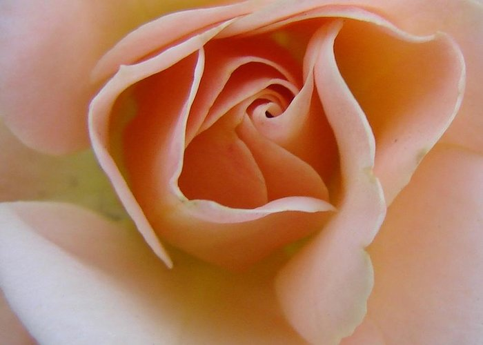 Rose Greeting Card featuring the photograph Peach Mini Rose by Liz Vernand