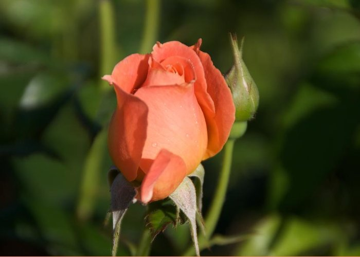 Rose Greeting Card featuring the photograph Peach Rose by Toni Berry