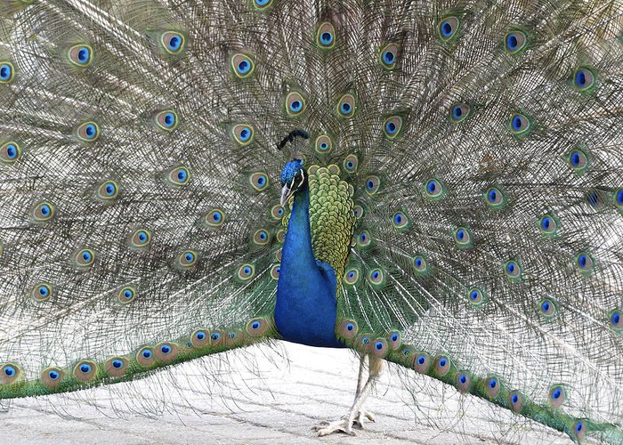 Animal Greeting Card featuring the painting Peacock 03 by Joerg Bernhard Klemmer