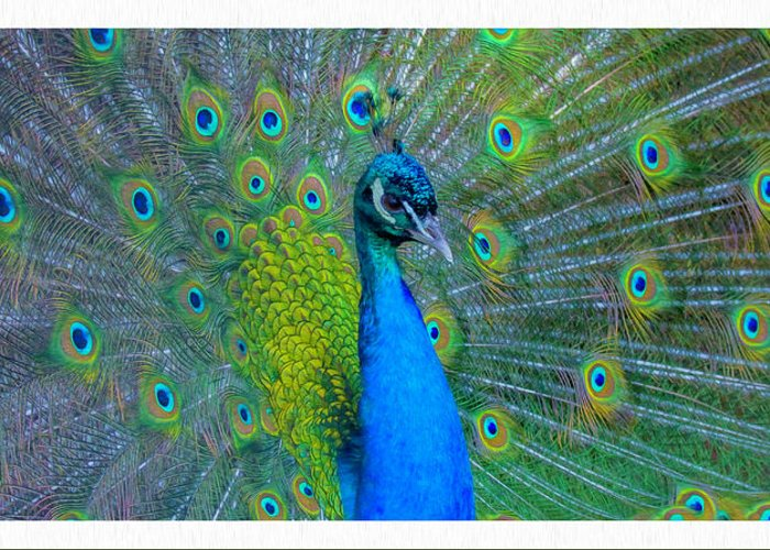 Peacock Greeting Card featuring the photograph Peacock by Janet Argenta