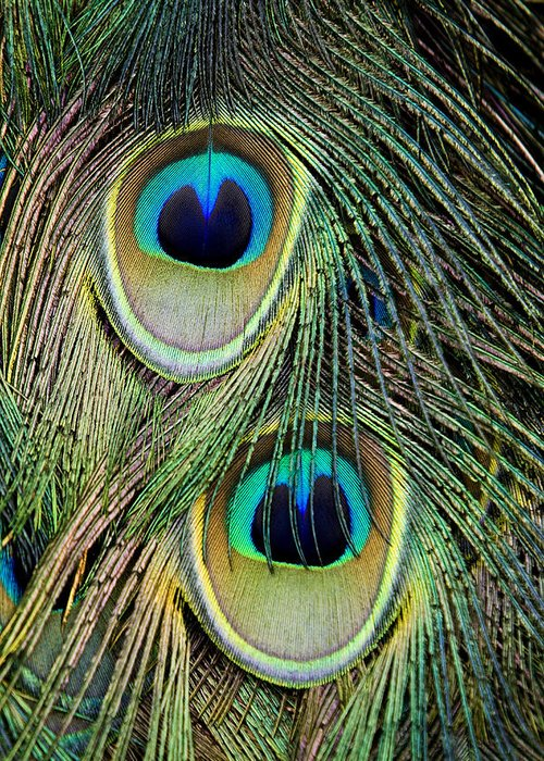 Feathers Greeting Card featuring the photograph Peacock Pavo Cristatus Feather Detail by Tim Laman