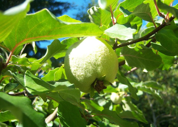 Pear Greeting Card featuring the photograph Pear by Ken Day