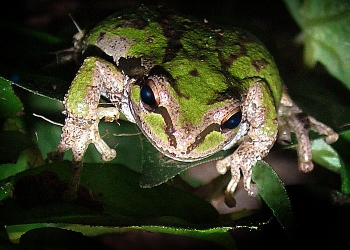 Tree Frog Greeting Card featuring the photograph Peek A Boo Pacific Tree Frog by Nick Gustafson