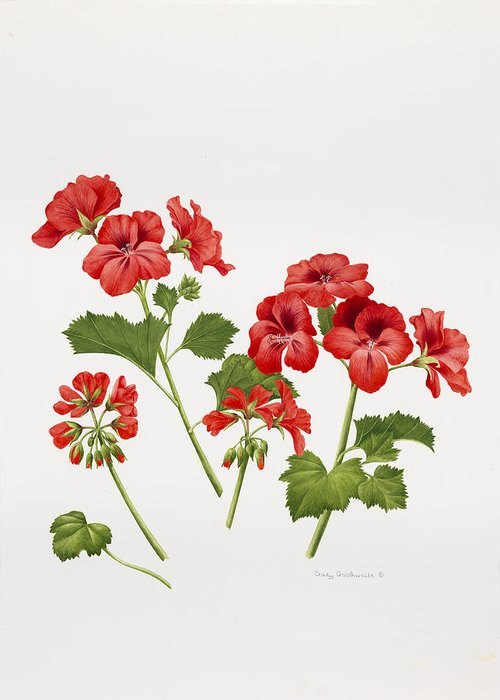Red Geraniums Drawings Greeting Cards
