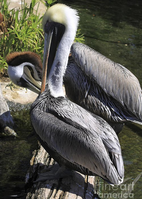 Birds Greeting Card featuring the photograph Pelican Duo by Deborah Benoit