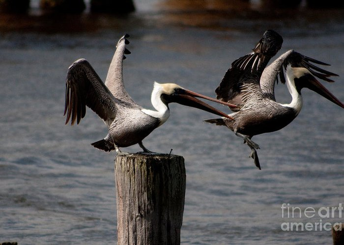Fine Greeting Card featuring the photograph Pelican Fight by Michael Herb
