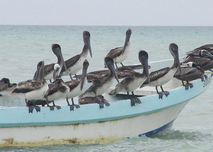 Photo Greeting Card featuring the photograph Pelicanos by Angel Ortiz