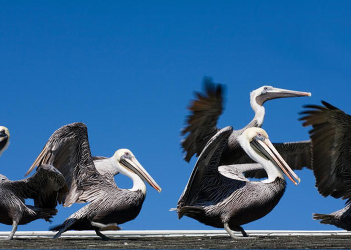 Pelicans Greeting Card featuring the photograph Pelicans Take Flight by Mal Bray