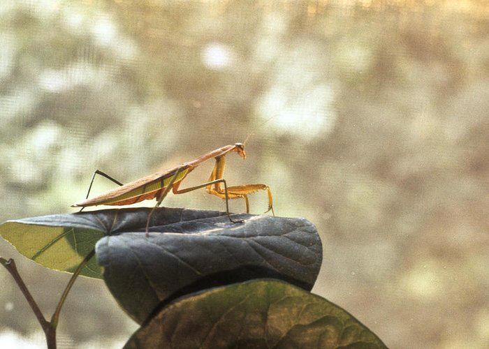 Praying Greeting Card featuring the photograph Pensive Mantis by Douglas Barnett