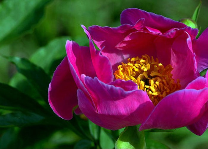 Peony Greeting Card featuring the photograph Peony-0035 by Sean Shaw