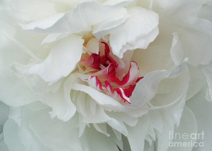 Flower Greeting Card featuring the photograph Peony by Jim Wright