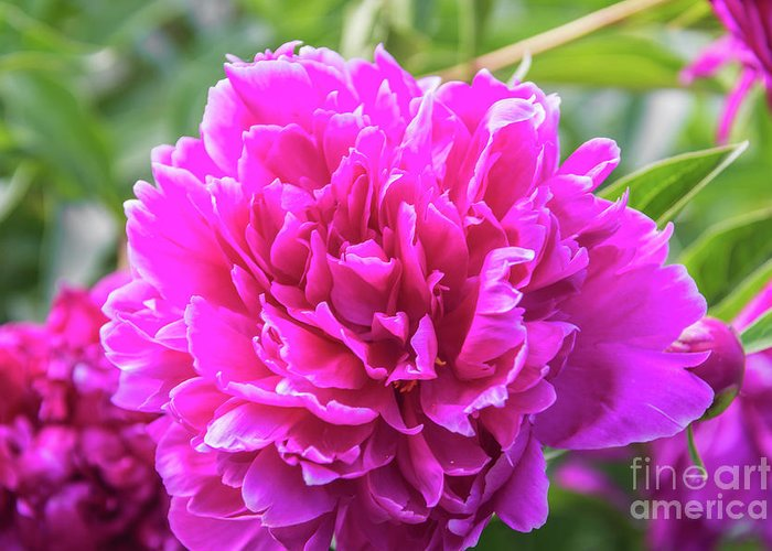Flowers Greeting Card featuring the photograph Peony by Pamela Williams