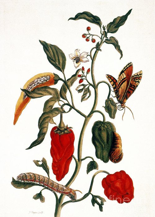 1726 Greeting Card featuring the photograph Pepper Plant by Granger