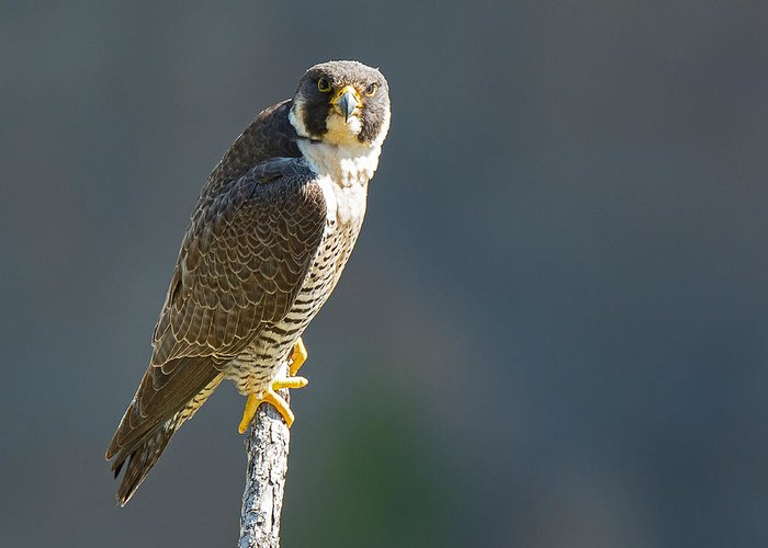 Bird Greeting Card featuring the photograph Peregrine Falcon by Terry Hawthorne