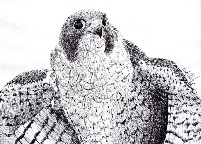 Wildlife Greeting Card featuring the drawing Peregrine Falcon by Wade Clark
