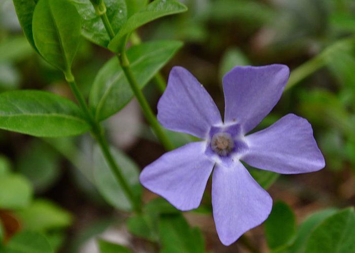 Vinca Greeting Card featuring the photograph Periwinkle by Marina Owens