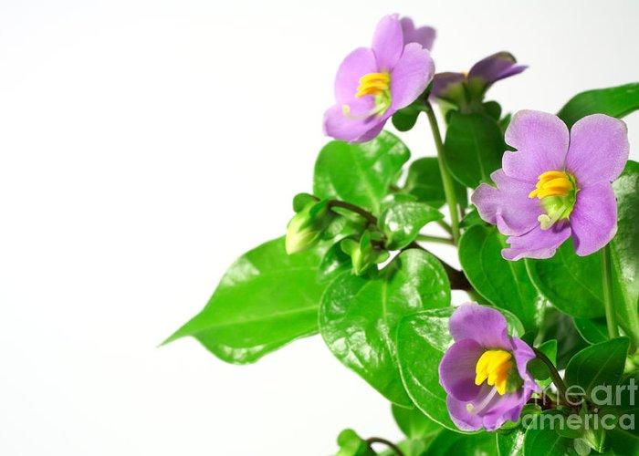 Closeup Greeting Card featuring the photograph Persian Violets by Gaspar Avila