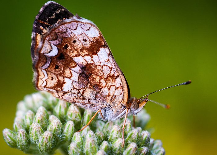 Insect Greeting Card featuring the photograph Phaon Crescent by Jeff Phillippi
