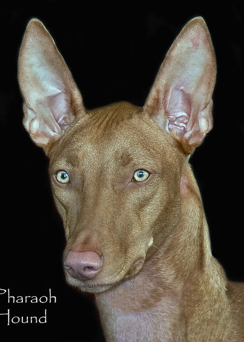 Pharaoh Hound Greeting Card featuring the photograph Pharaoh Hound by Larry Linton