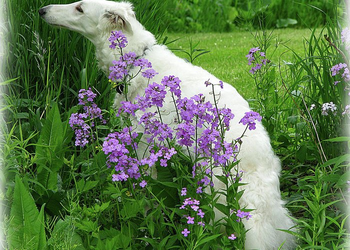 Dog Greeting Card featuring the photograph Phlox And Hound by Deborah Johnson