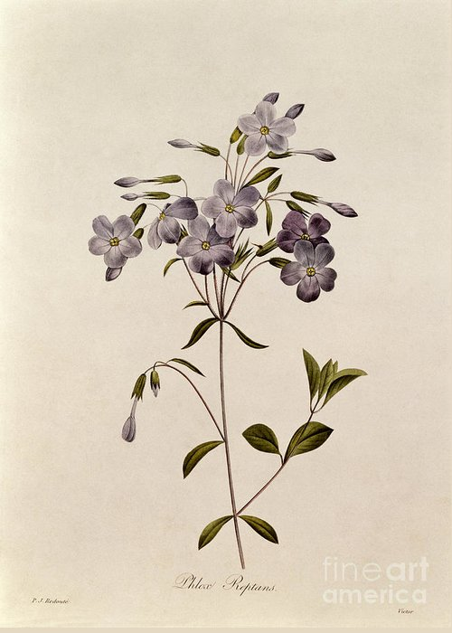 Phlox Greeting Card featuring the drawing Phlox Reptans by Pierre Joseph Redoute