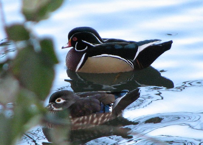 Wood Duck Pair Greeting Card featuring the photograph Phoenix And Lakota by Athena Ellis
