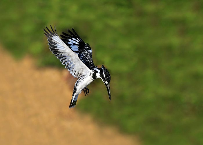 Pied Kingfisher Greeting Card featuring the photograph Pied Kingfisher by Tony Beck