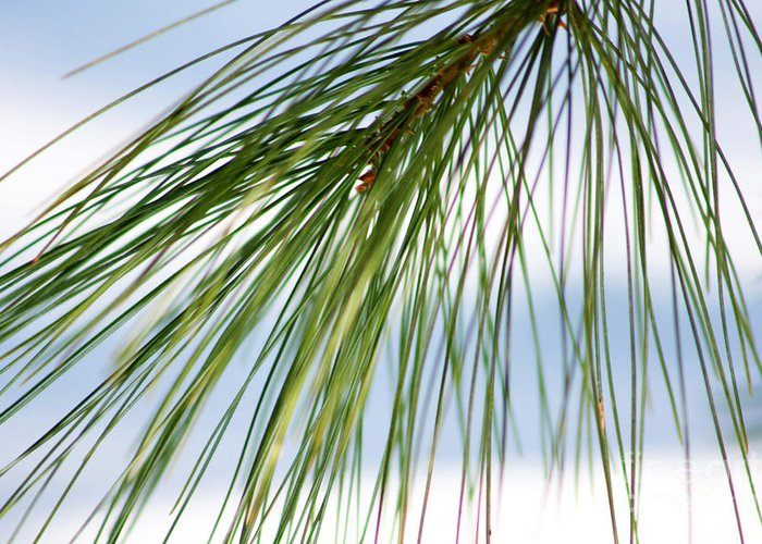 Nature Greeting Card featuring the photograph Pine Needles Series 3 by Robin Lynne Schwind