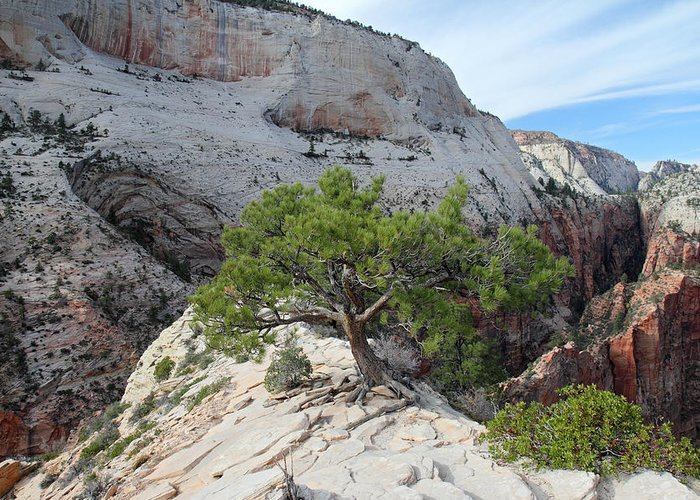 Zion Greeting Card featuring the photograph Pine Tree On Top Of Angels Landing In Zion by Pierre Leclerc Photography