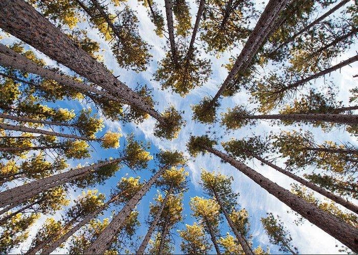 Pine Greeting Card featuring the photograph Pine Tree Vertigo by Adam Pender