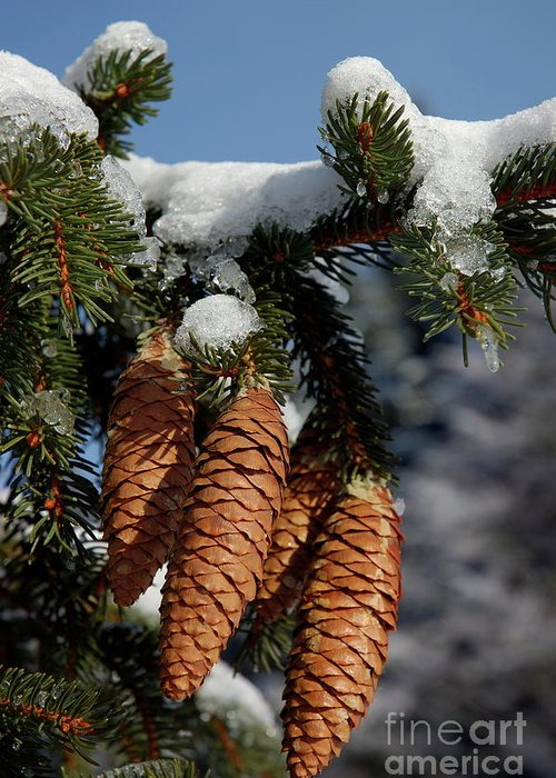 Branch Greeting Card featuring the photograph Pinecones Hanging From A Snow-covered Fir Tree Branch by Sami Sarkis