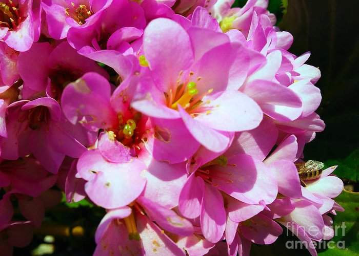 Bergenia Cordifolia Greeting Card featuring the photograph Pink And Beauty by Jasna Dragun