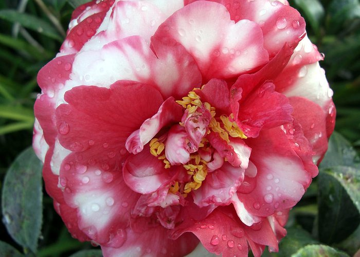 Camillia Greeting Card featuring the photograph Pink And White Camillia by Frederic Kohli