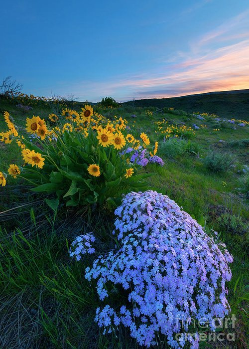 Phlox Greeting Card featuring the photograph Pink And Yellow Sunset by Mike Dawson