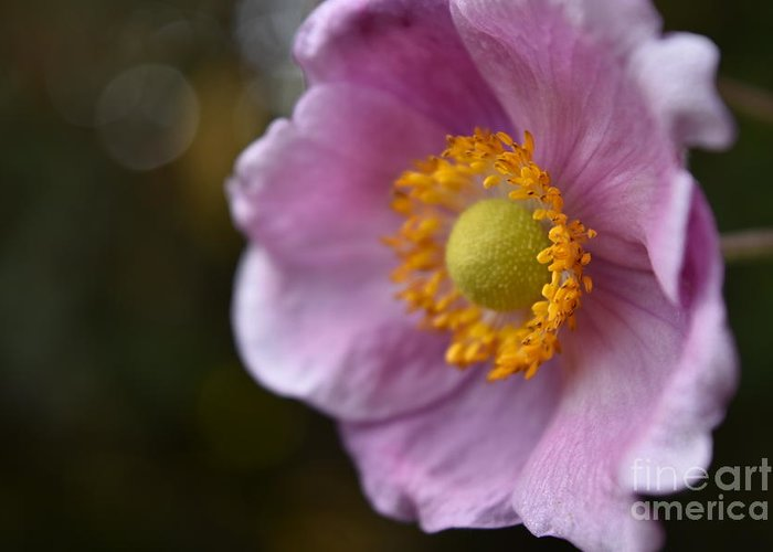 Pink Anemone Greeting Card featuring the photograph Pink Anemone by Rowena Throckmorton