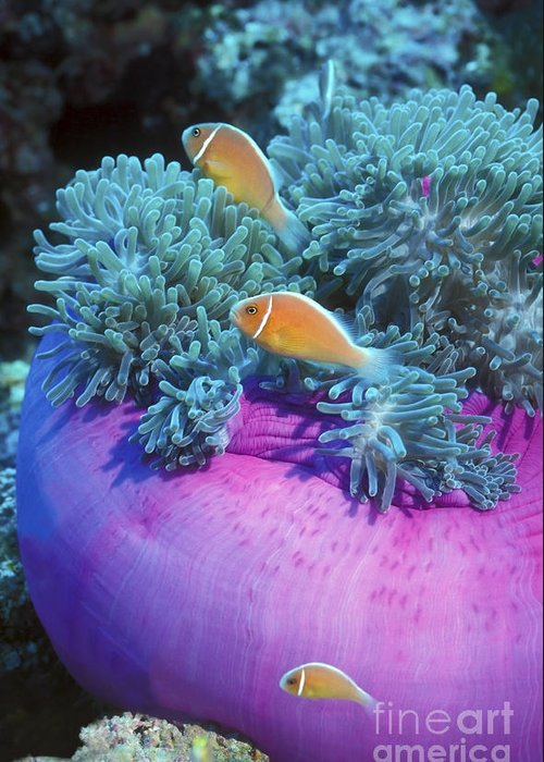 Fish Greeting Card featuring the photograph Pink Anemonefish Protect Their Purple by Michael Wood