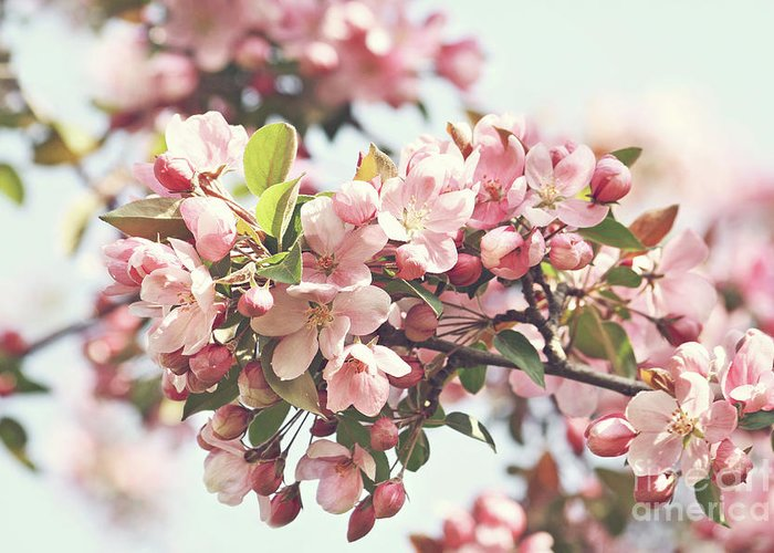 Apple Greeting Card featuring the photograph Pink Apple Blossoms by Sandra Cunningham