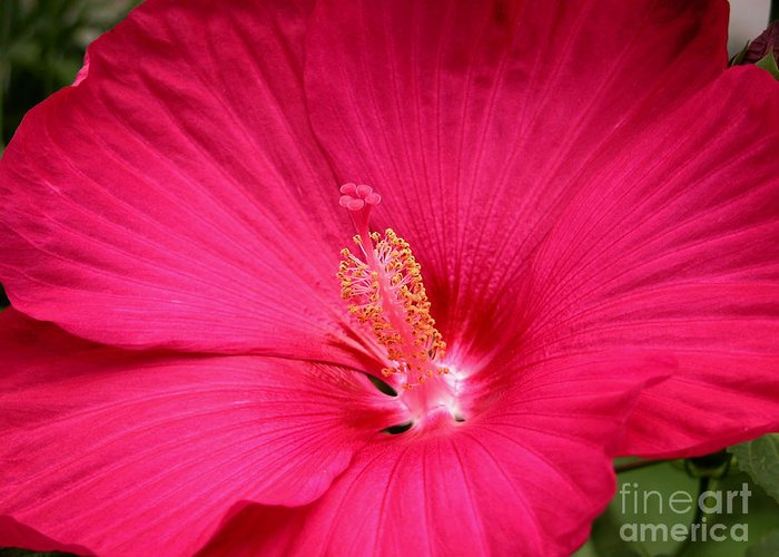 Hibiscus Greeting Card featuring the photograph Pink Bloomers by Paul Anderson
