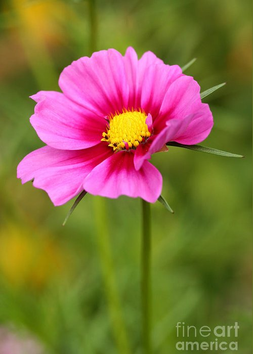 Flower Greeting Card featuring the photograph Pink Cosmo by Steve Augustin