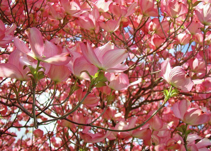 Dogwood Greeting Card featuring the photograph Pink Dogwood Flowering Tree Art Prints Canvas Baslee Troutman by Baslee Troutman