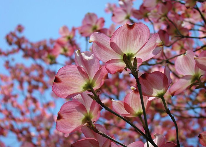 Dogwood Greeting Card featuring the photograph Pink Dogwood Flowers Landscape 11 Blue Sky Botanical Artwork Baslee Troutman by Baslee Troutman