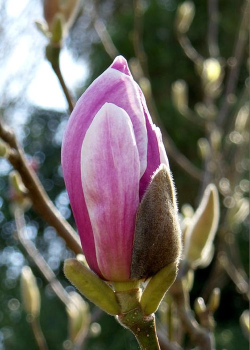 Photography Greeting Card featuring the photograph Pink Early Bloom by Francesca Mackenney