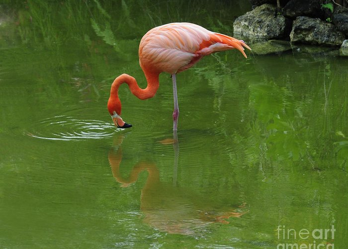 Pink Flamingo Greeting Card featuring the photograph Pink Flamingo by Cindy Lee Longhini
