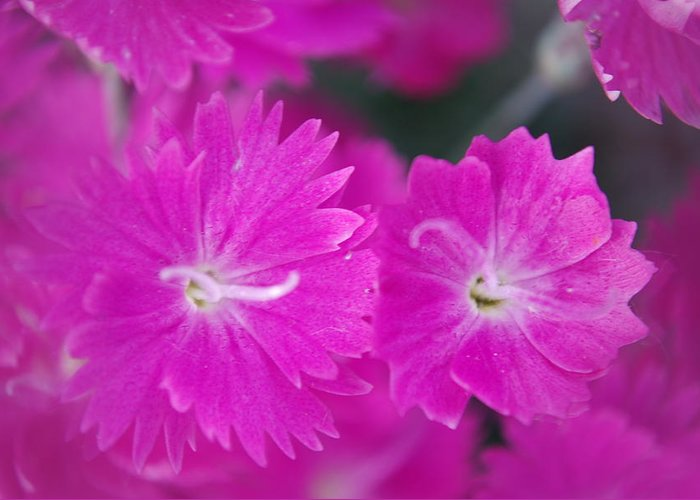 Flowers Greeting Card featuring the photograph Pink Flower Closeup by Lisa Gabrius