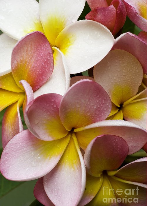 Pink Frangipani Greeting Card featuring the photograph Pink Frangipani by Sheila Smart Fine Art Photography