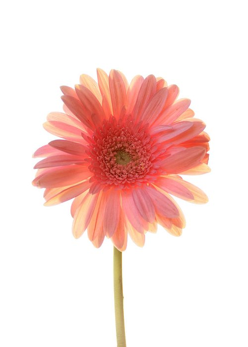Pink Daisy Greeting Cards