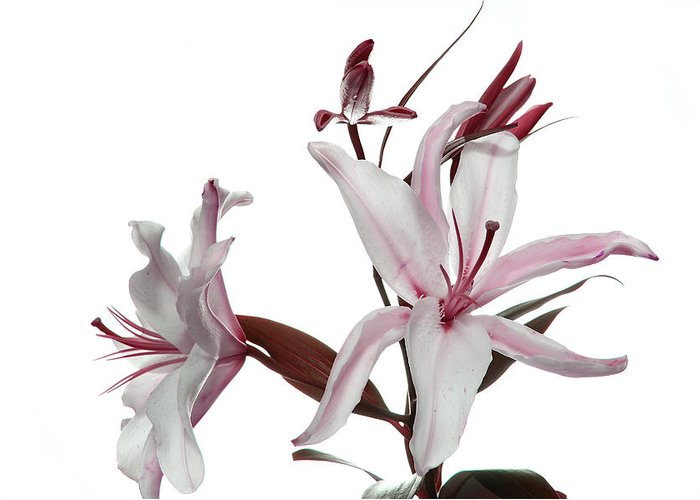 Pink Lily Greeting Card featuring the photograph Pink Lily by Peter Dorrell
